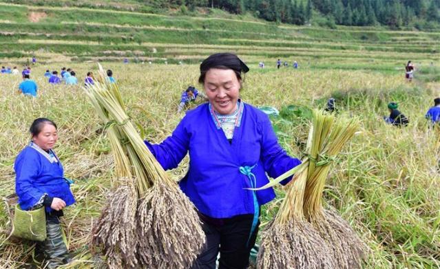 mor pirinç nasıl olur