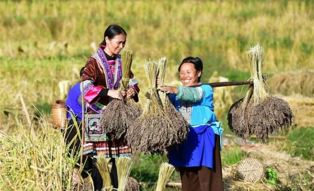 mor pirinç nerede yetişir