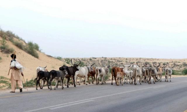 Sığırlarına su bulmak için yola düşen bir çoban