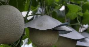 Japonya'nın ilgi çeken meyve kültürü