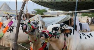 Pakistan'da kurban pazarları rengarenk