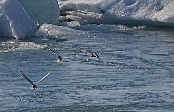 Kutuplar bile artık kuşlar için 'güvenli liman' değil