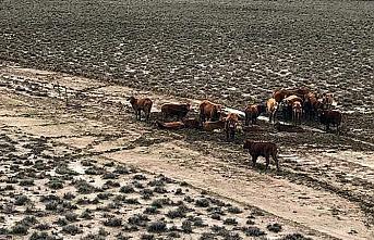 300 bin sığır selde telef oldu