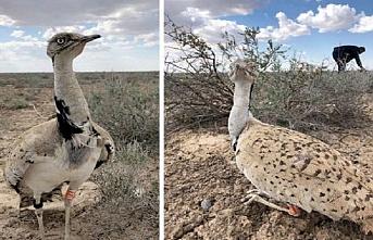 Yaşam Aral'a Dönüyor: BAE'den getirilen 1000 kuş doğaya bırakıldı