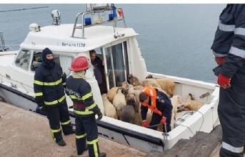 Binlerce koyun alabora olan gemide mahsur kaldı