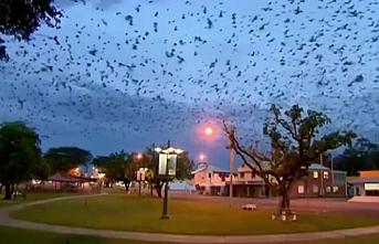 Avustralya'da şimdi de yarasa istilası