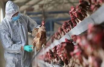 Olan yine tavuklara oldu.. 130 bin itlaf