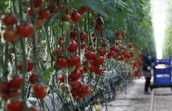 Rusya'nın Türkiye'den domates alım kotasını artırması ihracatçıyı sevindirdi
