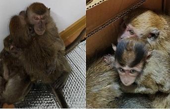 Özbekistan Tacikistan sınırında kaçak maymun ticareti