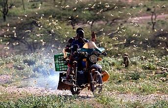 Doğu Afrikayı yağmur sonrası çöl çekirgesi tehlikesi bekliyor