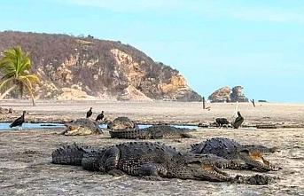 Meydanı boş bulan timsahlar sahile akın etti