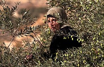İsrail'in askeri köy basıp 85 zeytin ağacı söktü