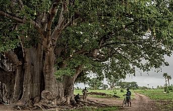 Senegal'de yüzlerce yıllık baobap ağacı kırılarak devrildi: 1 ölü