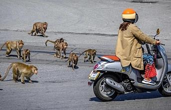 Taylandlılar: Maymun çeteleri sokakta biz kafesteyiz