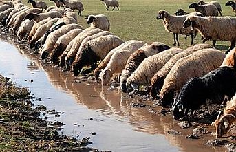 Van'ın koyunları Katar'a gitti