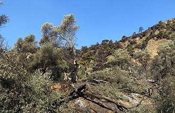 Aydın'da zeytin ve incir ağaçlarının bulunduğu alanda çıkan yangın kontrol altına alındı