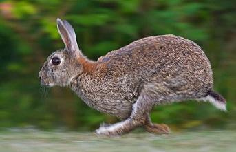 Kandıra'da tavşan eti üretim çiftliği kuruldu