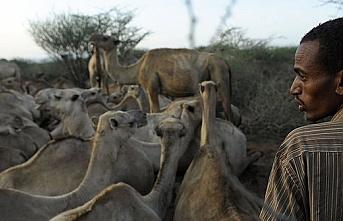 Kenya'nın deve çiftlikleri MERS tarafından tehdit ediliyor