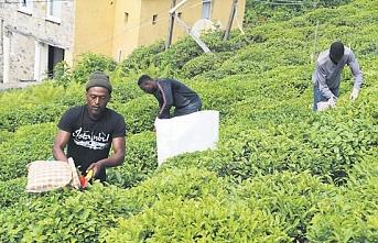 Rize'de Senegalli çay işçileri ve Çayda Türkiye-Afrika işbirliği