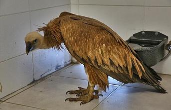 Hakkari'de tedavisi tamamlanan kızıl akbaba doğaya salındı