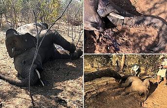 Zimbabve'de gizemli şekilde ölen fillerin sayısı artıyor