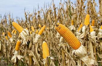 Arpa, buğday, ve mısırda gümrük vergisi sıfırlandı