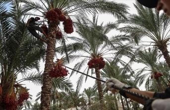 Meşhur Gazze hurmasının hasadı başladı