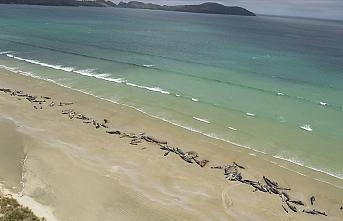 Chatnam Adaları'nda 120'den fazla balina ve yunus karaya vurdu