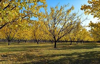 Kayısı bahçelerinde kartpostal gibi sonbahar
