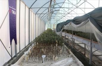 TİKA, KKTC'deki fidan üretim istasyonlarını modernize etti