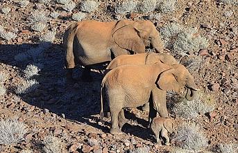 İçecek su bulamayan filler satılacak