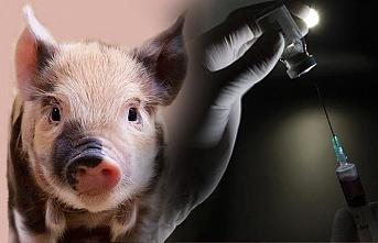 Korona aşısında 'domuz' tehlikesi!
