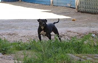 Pitbull köpeği yine dehşet saçtı