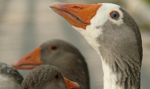 İspanya'da kuş gribi alarmı