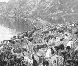 İstanbul köpekleri Hayırsız Ada'ya niçin gönderildi ?