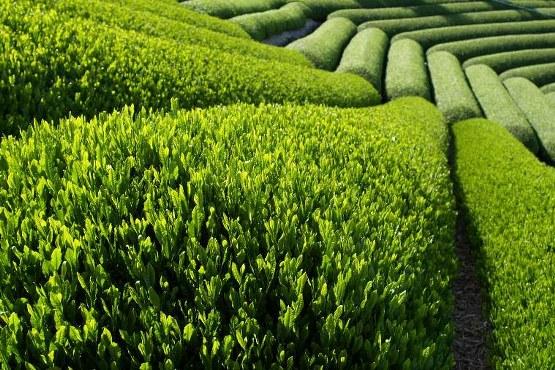 Yeşil çay tansiyon ilacını engelliyor