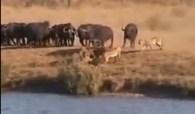 Aslan, timsah ve bufalo savaşı-VİDEO
