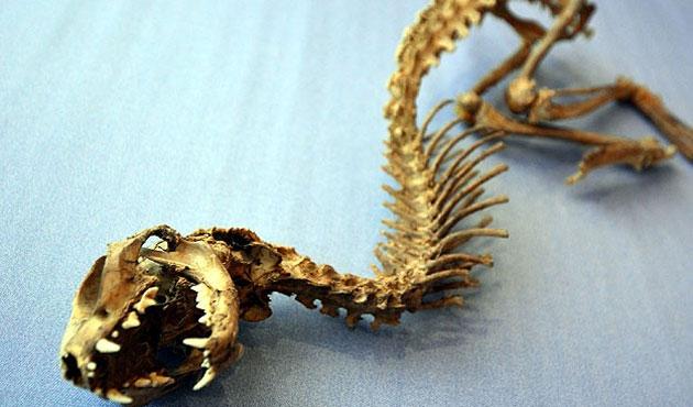 Osmaniye'de tanımlanamayan hayvan iskeleti bulundu