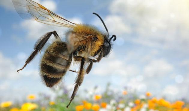 İngiltere'de ithal arılarda virüs alarmı!