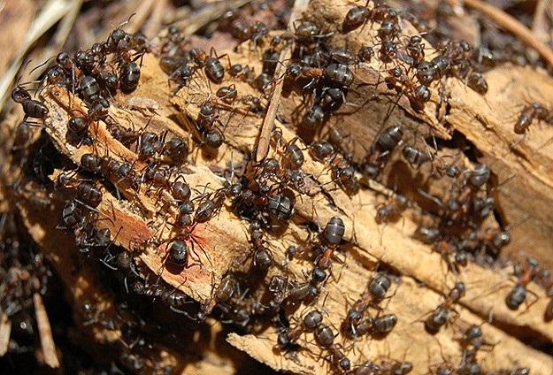 Amazon köylülerinin karıncalı intikamı