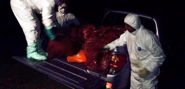 Gebze'de endişe veren 'tavuk itlafı'
