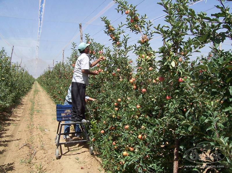 Yozgat'ta köylüler kendi tarlasında maaşlı çalışıyor