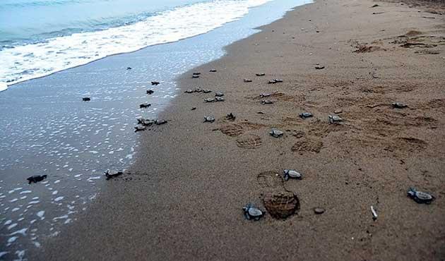 Carettaların kumdan denize yolculuğu başladı