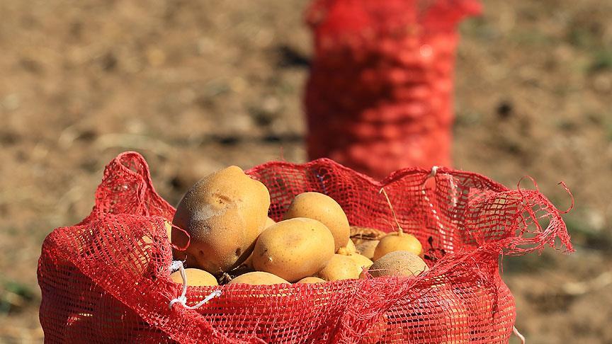 Bu yıl patates ucuza yenecek