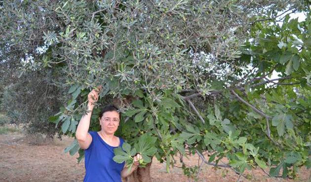 Bu ağaç hem incir, hem de zeytin veriyor