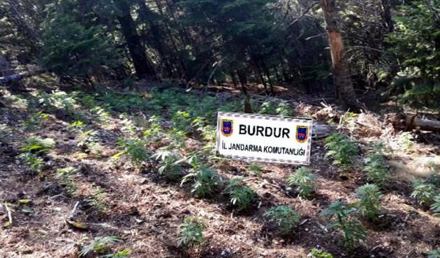 Burdur'da 2 milyon liralık kenevir ele geçirildi