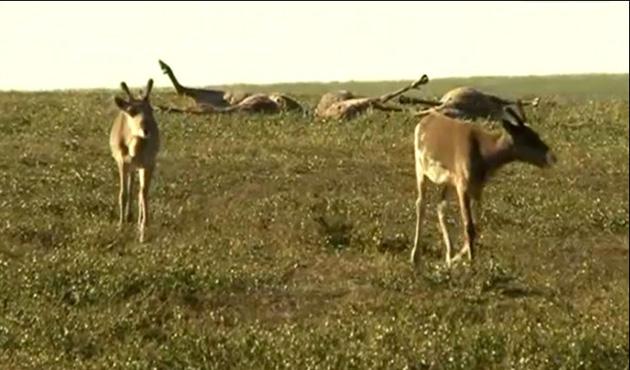 Sibirya'da şarbon salgını