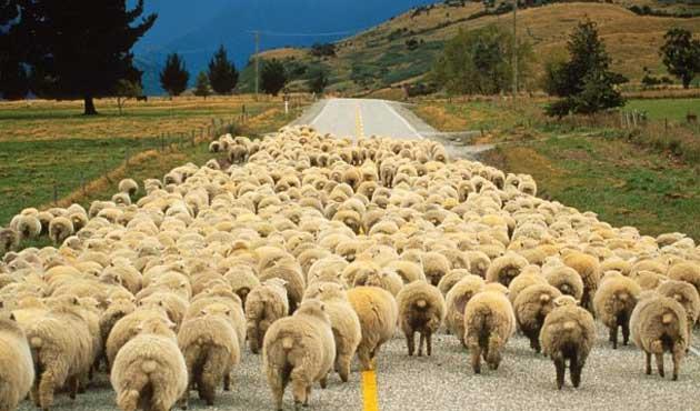 Kurt sürüsü 31 koyunu telef etti