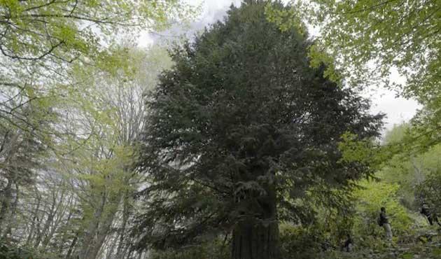 Porsuk ağacı Zonguldak'ı dünyada ilk 5'e soktu