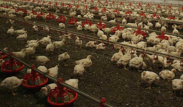 Çin'de kuş gribi korkusu